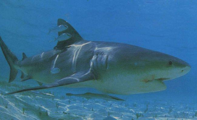 Сімейство гребнезубих акул