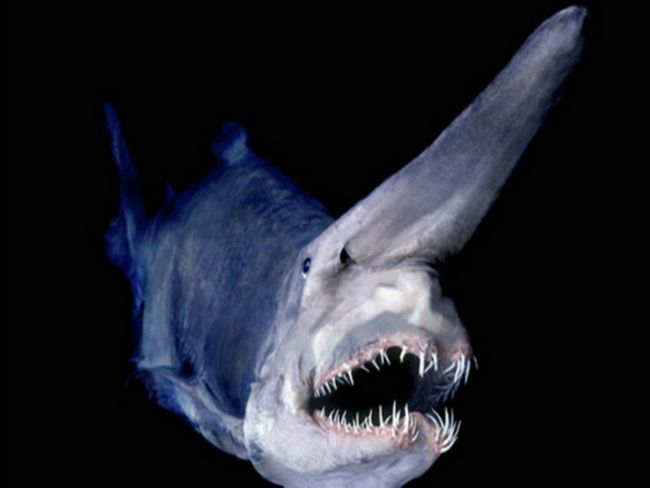 Акула-носоріг