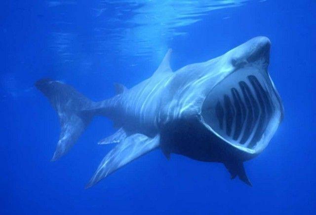 гігантські акули