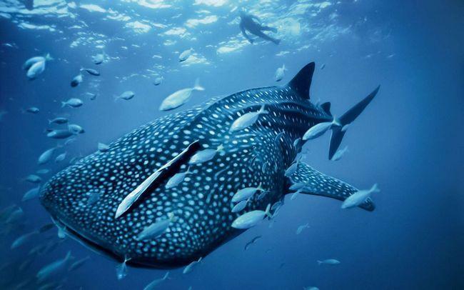 Гігантська китова акула
