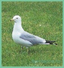 Семействочайковие / laridae