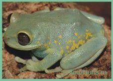Семействогіперолііди / hyperoliidae