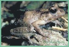 Семействогладконогіе / liopelmidae
