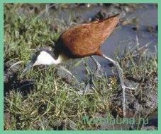 Семействоякани / jacanidae
