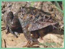 Лягушкадіскоязичная / discoglossus pictus