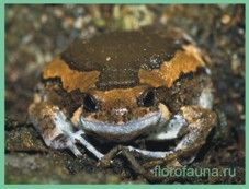 Семействоквакші узкоротие / microhylidae