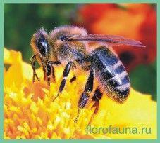 Семействопчёли / apidae
