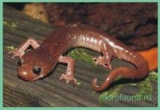 Семействосаламандри безлегочние / plethodontidae