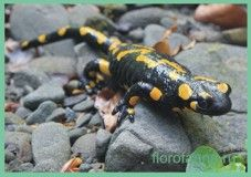 Семействосаламандри справжні / salamandridae