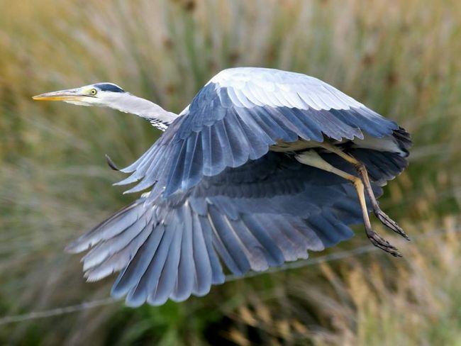Сіра чапля - довгонога, довгошия птах, однойменної забарвлення пір`я, з досить довгим гострим дзьобом.