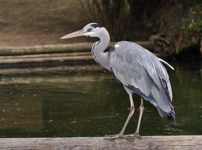На значній частині ареалу чапля є перелітним птахом, в інших мешкає цілий рік.