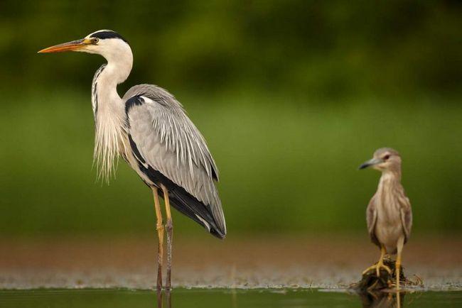 М`ясо сірої чаплі їстівне, але, згідно з багатьма відгуками, несмачно, хоча ця птиця іноді видобувається мисливцями.