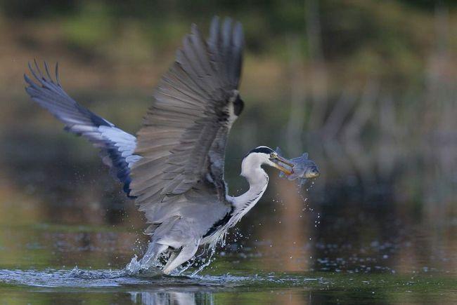 Більш того, чаплю можна вважати корисним птахом, що грає санітарну роль завдяки поїданню великої кількості хворий і ураженої паразитами риби.
