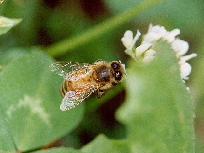 Цей вид бджіл найчастіше зустрічається в високих долинах Центрального Кавказу.