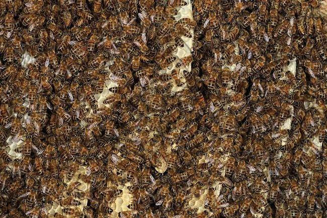 Найбільшою чисельності колонії сірих медоносних бджіл досягають в середині літа.