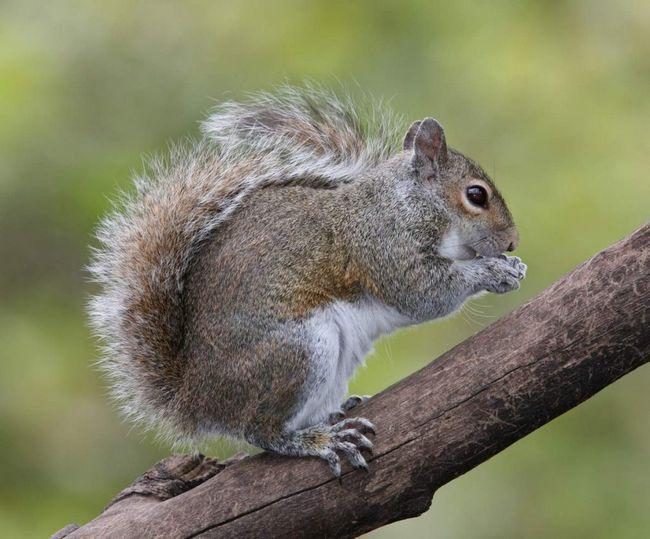 У роки зростання чисельності цього виду або в неврожайний рік ці білки збираються в більші «зграї» і мігрують у пошуках підходящих місць.