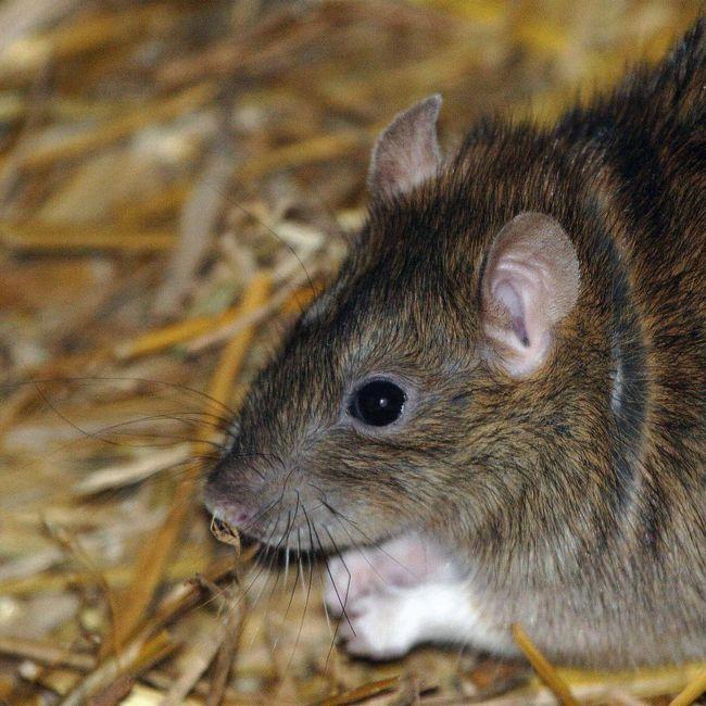 Сірий пацюк, або пасюк (rattus norvegicus)