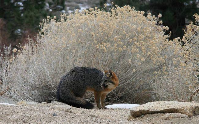 Сірі лисиці проживають в Центральній і Латинській Америці.