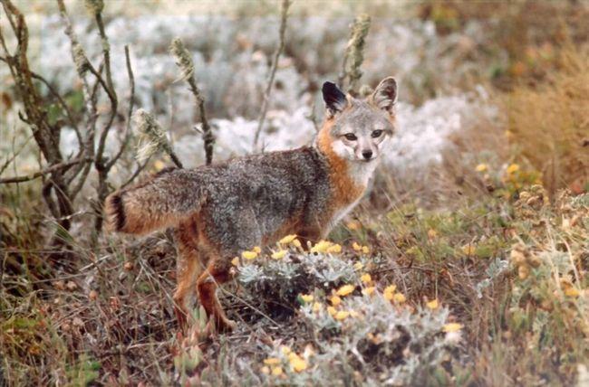 Забарвлення у сірій лисиці дуже незвичайний і привабливий.