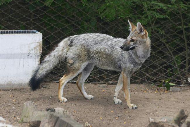 Сіра лисиця - моногамна тварина, а пара, що утворилася одного разу, тримається разом все життя,