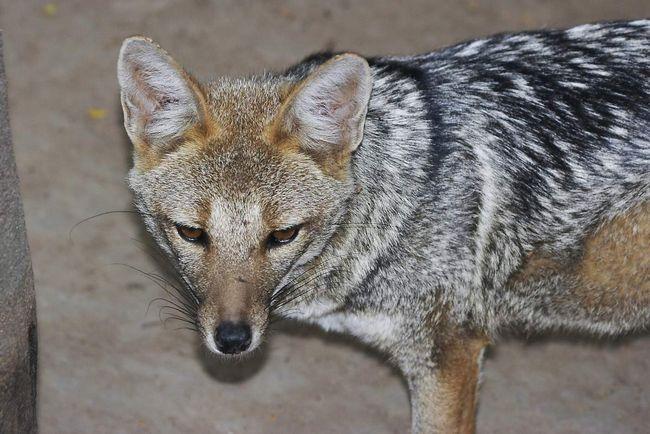 Сірі лисиці іноді крадуть тварин в підсобному господарстві людини.