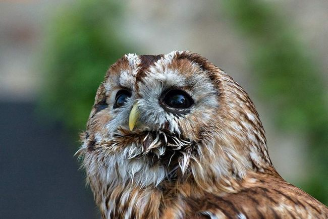 Незважаючи на те, що сіра сова надає перевагу старим листяні і змішані ліси, вона часто зустрічається і в хвойних лісах.