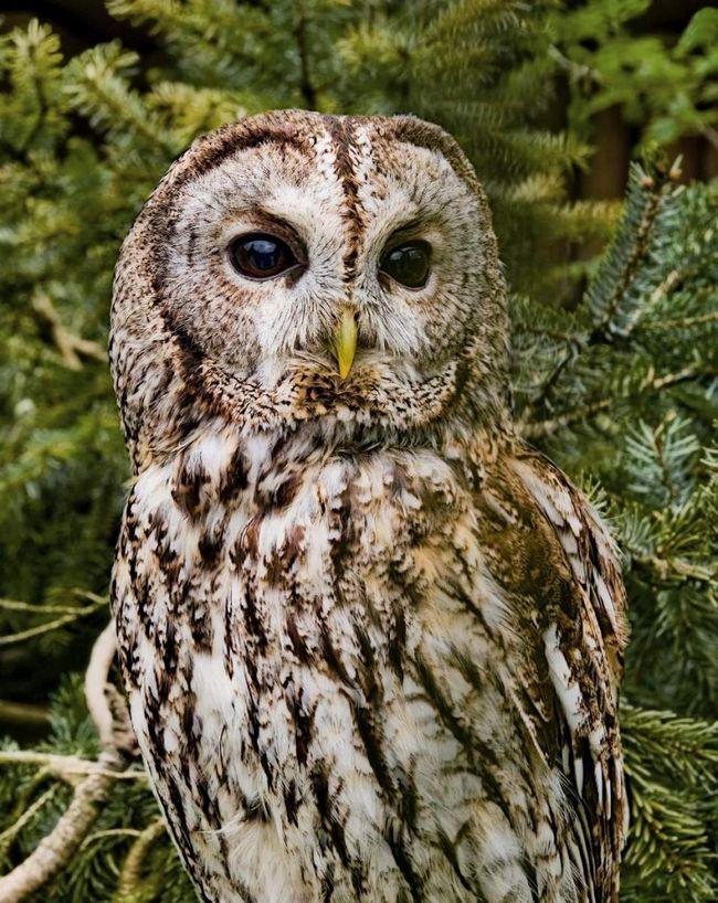 Пташенята видають характерний хрипкий безголосий звук, яким просять батьків дати їм їжу.