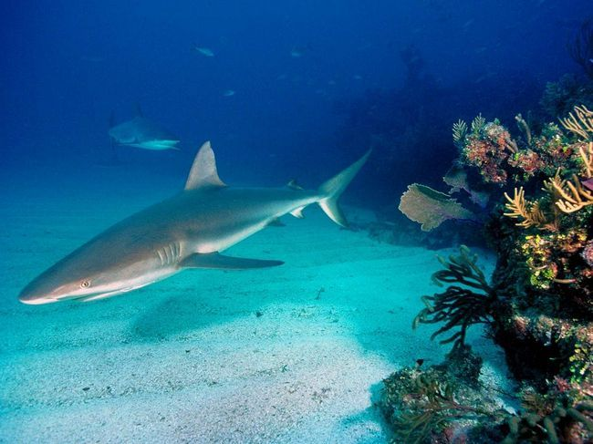 Сіра рифова акула (Carcharhinus wheeled).