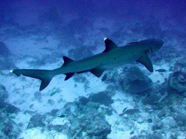Сірі рифові акули живуть в Тихому та Індійському океанах.