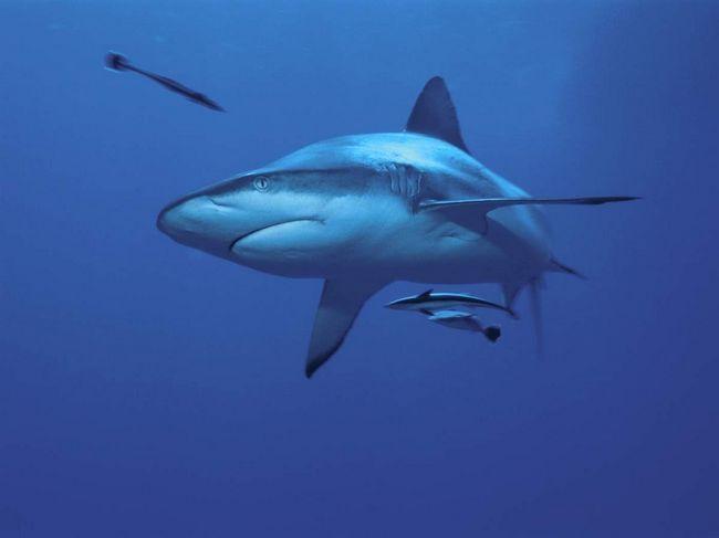 Сірі рифові акули є живородящими.