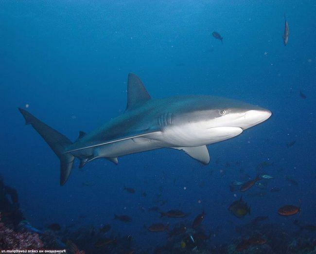 Часто сірі рифові акули б`ються між собою за спійману здобич.