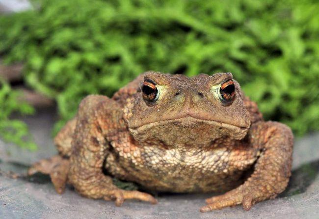 Для захисту від ворогів сіра жаба використовує зверхньо фарбування, що маскує і токсичні виділення розташованих позаду очей залоз.