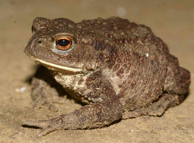 Стрибання жаба використовує тільки в збентежених стані, коли небезпека на її думку присутній.