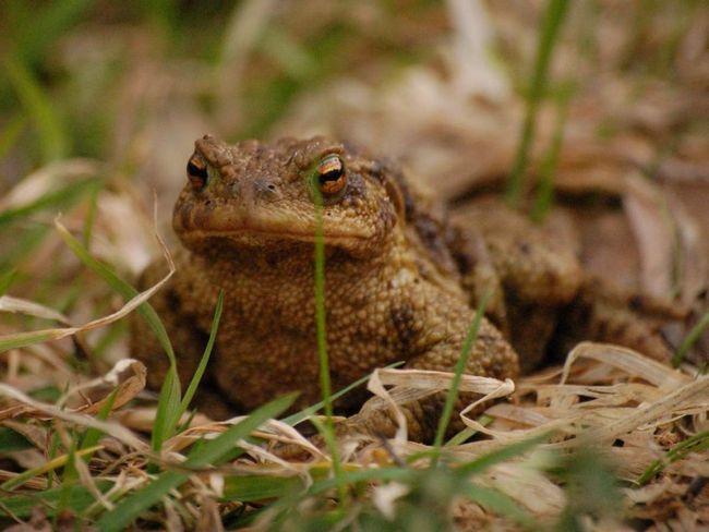 У спокійному стані жаба пересувається виключно кроком.