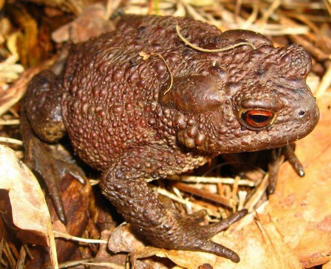 Акваріум для розведення звичайних жаб заповнюють водою на 1/3.