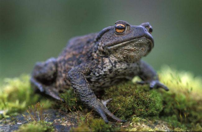 Звичайна жаба (Bufo bufo).