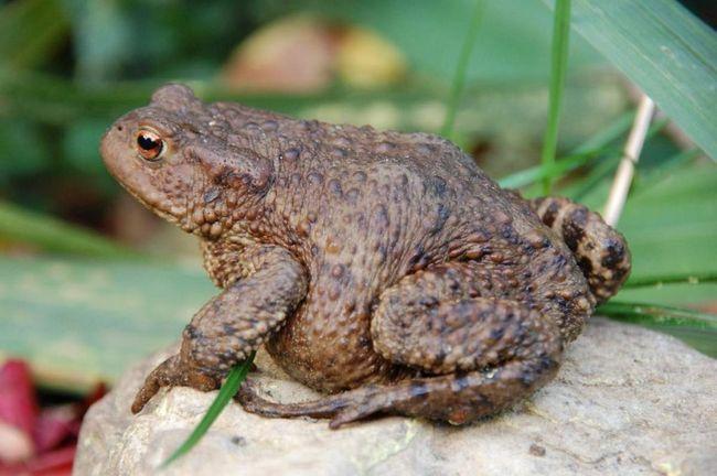Сірі жаби живуть у Євразії та Північно-західній Євразії.