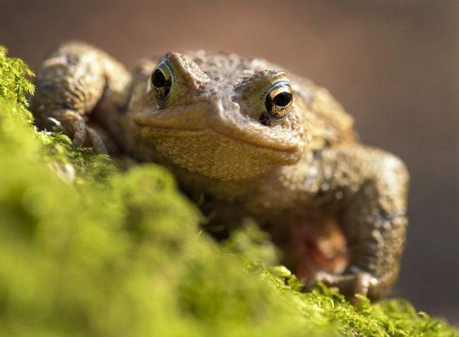 Амфібія є найбільшою жабою, що мешкає в Європі.
