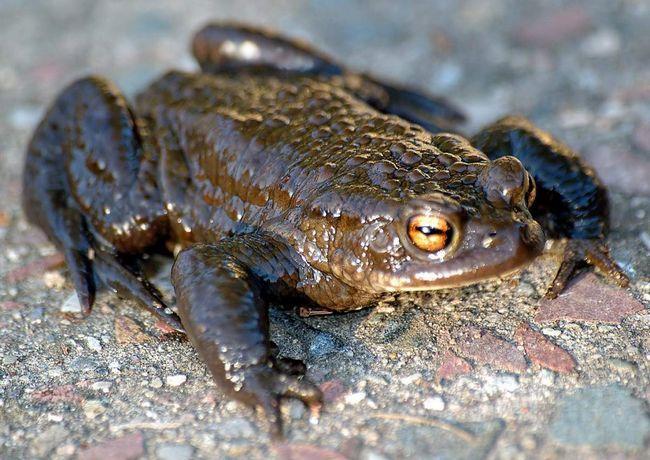 Якщо сіру жабу налякати, то відчувши загрозу, вона починає виділяти шкірний секрет.