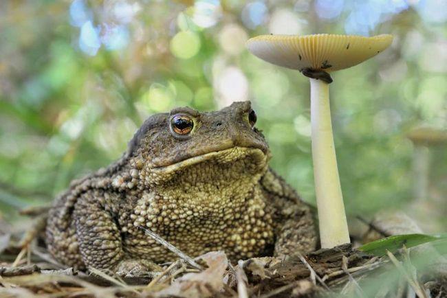 Забарвлення звичайної жаби залежить від статі і віку, а також пори року, буває не тільки сірий, але і оливковий, темно-коричневий, теракотовий, піщаний.