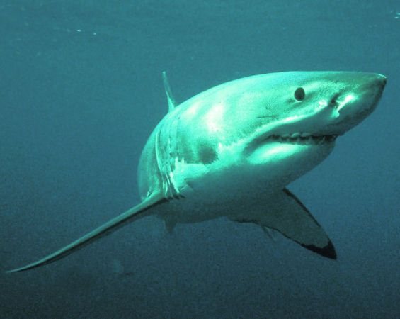 Велика біла акула (Carcharodon carcharias).