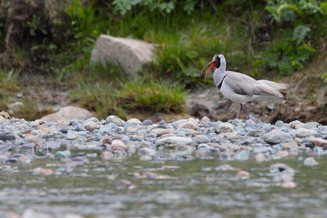 За допомогою свого дзьоба птах шукає здобич між камінням на дні річок і озер, занурюючи голову в воду.