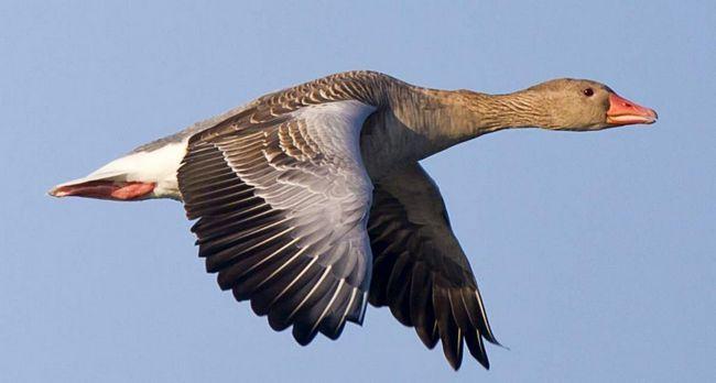 З випаданням махового пір`я птахи втрачають здатність до польоту.