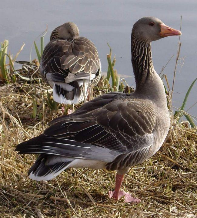 У разі небезпеки гуска захищає своє потомство, в той час, як самець, найчастіше, тікає в укриття.