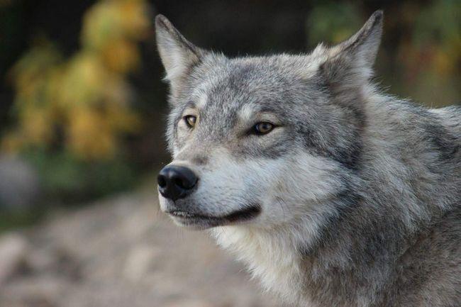 Сірий вовк: персонаж з казок або грізний хижак?