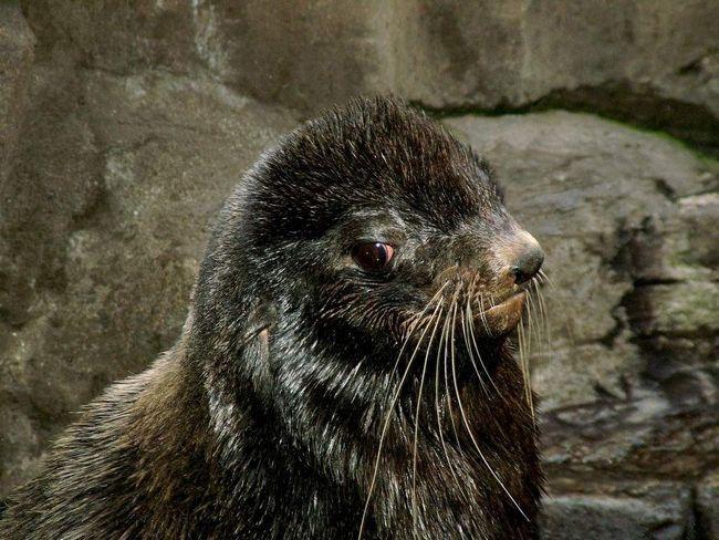 Дитинча північного морського котика.