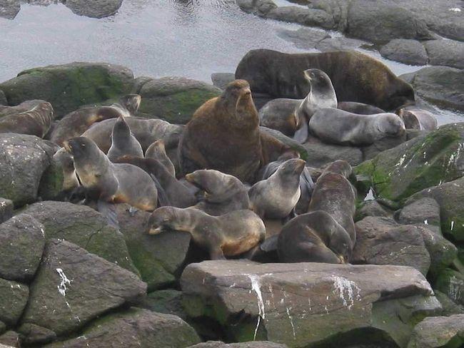 Як і всі тюлені, морські котики люблять влаштовувати лежбища.