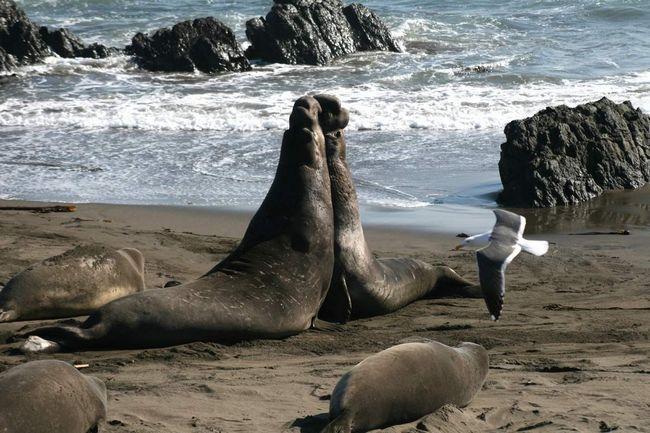 Північний морський слон - дуже потужне тварина.