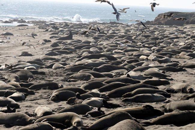 Лежбища морських слонів.