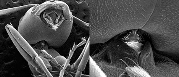 Шия мурашки витримує навантаження, в 5 000 разів перевищує вагу тіла комахи